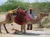 camel_sept-17_all-aboard