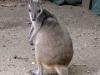 mini-kangaro-monte