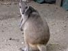 wmini-kangaro-monte